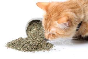 De l'herbe à chat séchée reniflé par un matou