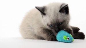 Une souris pour chat est un jeu attrayant pour votre matou !